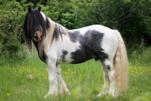 blue ice irish cob profil gauche